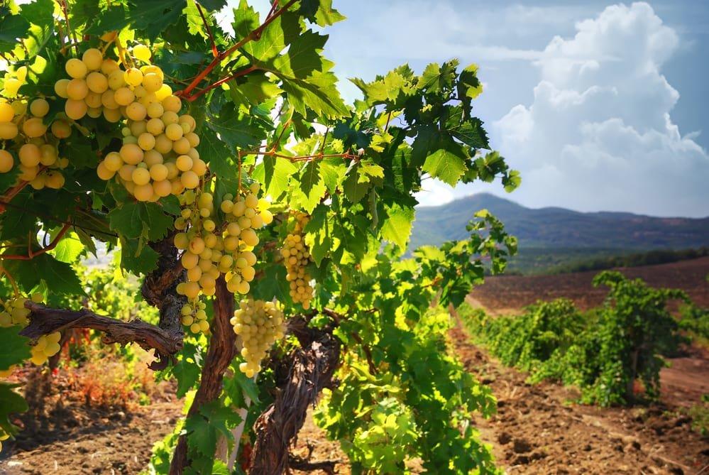 Witte-wijn